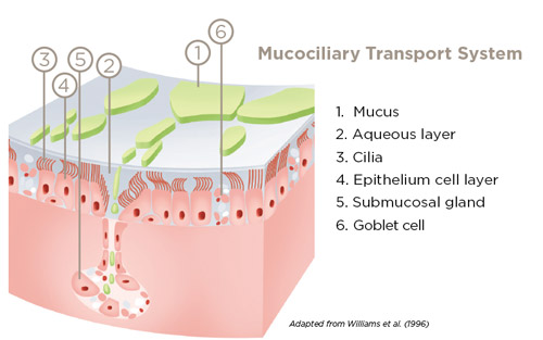 Mucociliary Transport System